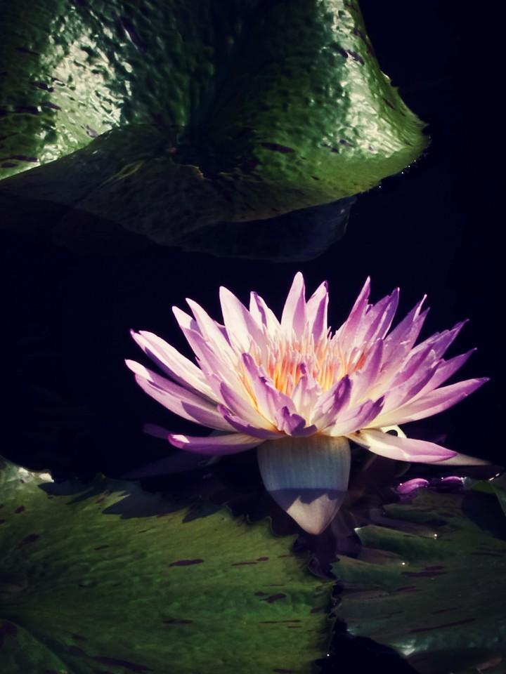 莲花,纯洁和美_图1-20