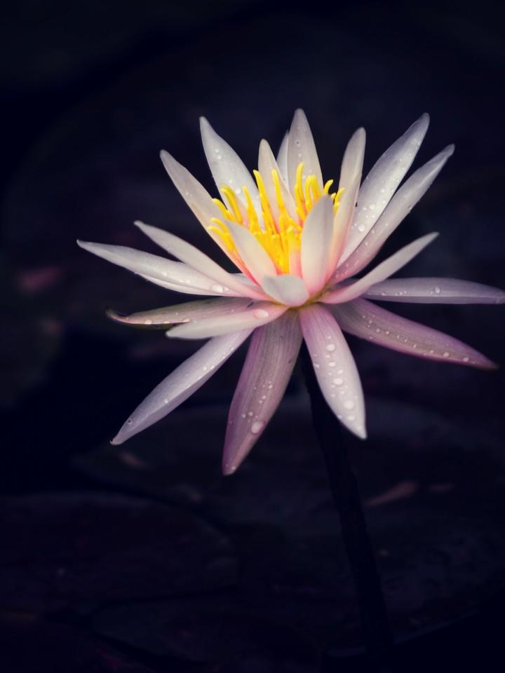 莲花,纯洁和美_图1-17
