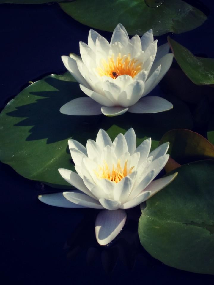 莲花,纯洁和美_图1-18