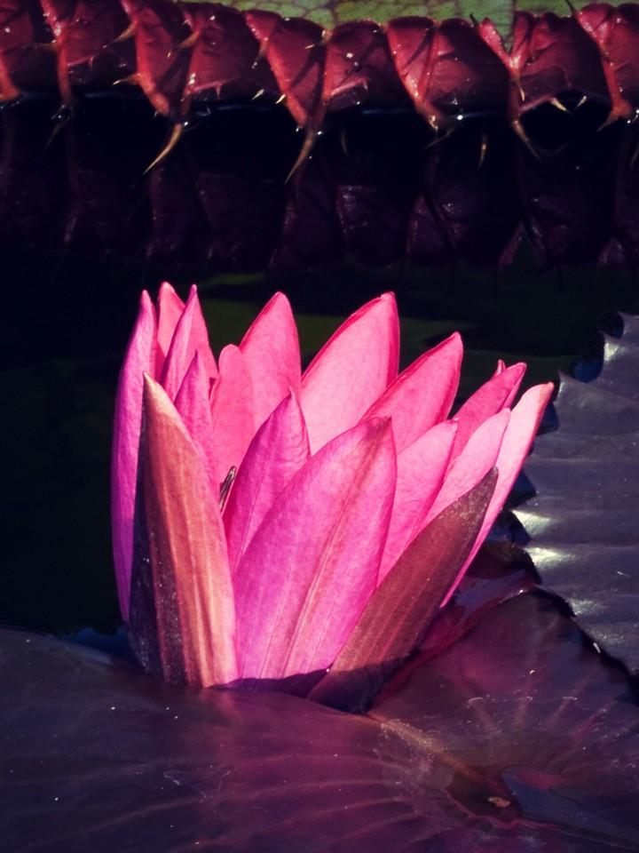 莲花,纯洁和美_图1-19