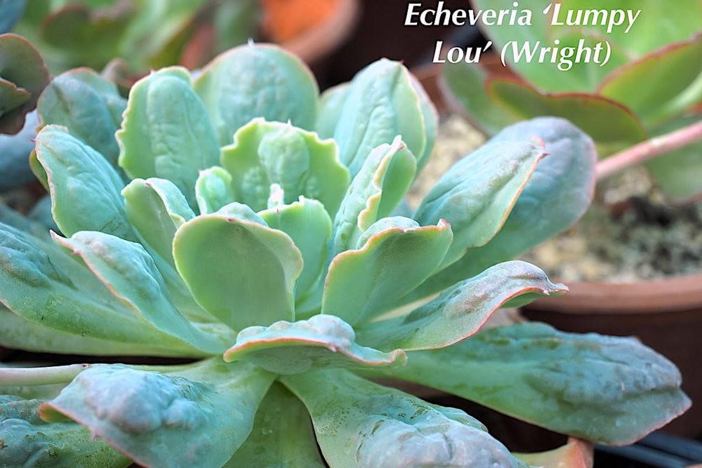 肉质植物之石莲---3_图1-6
