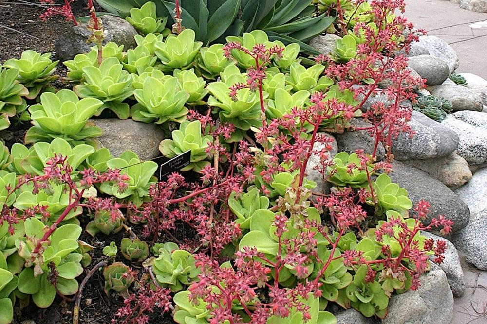 肉质植物之石莲---3_图1-14