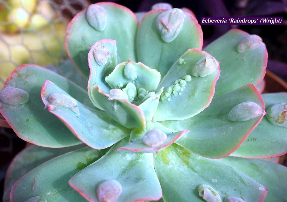 肉质植物之石莲---3_图1-19