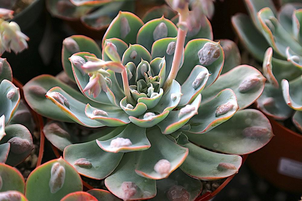 肉质植物之石莲---3_图1-20