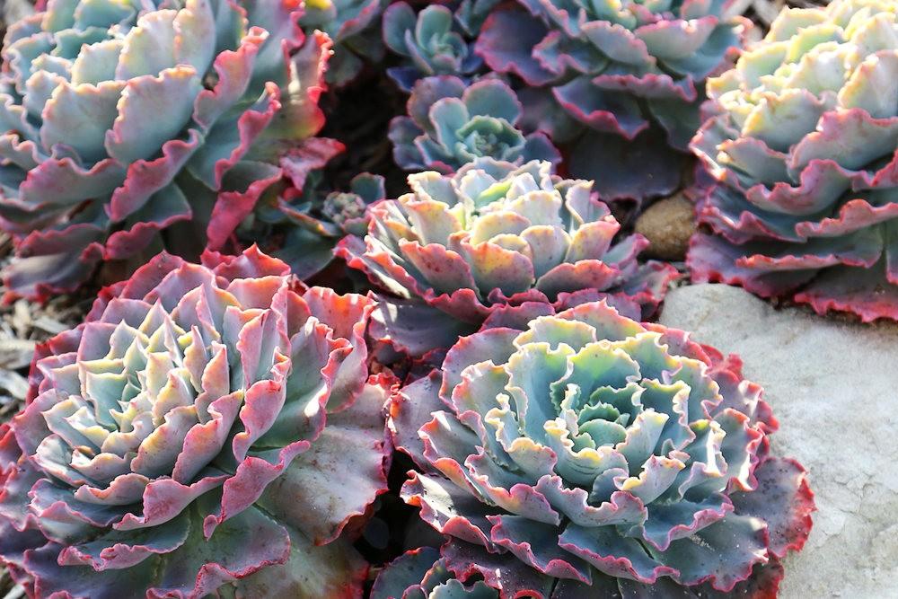 肉质植物之石莲---3_图1-22