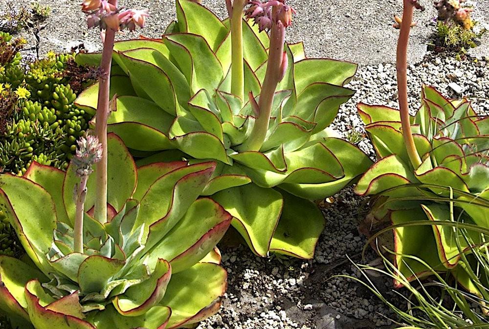 肉质植物之石莲---3_图1-25