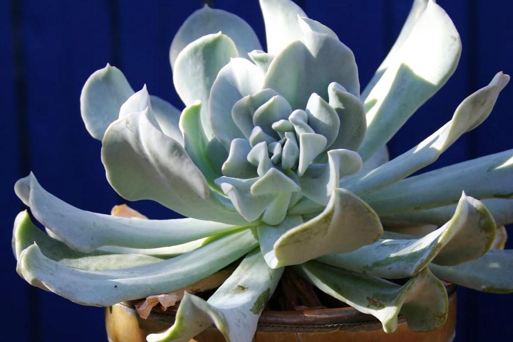 肉质植物之石莲---3_图1-26