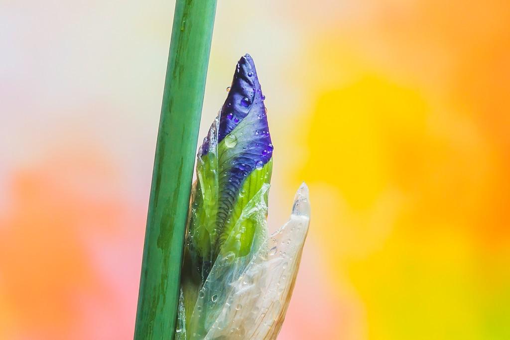 鸢尾花,花样年华_图1-19