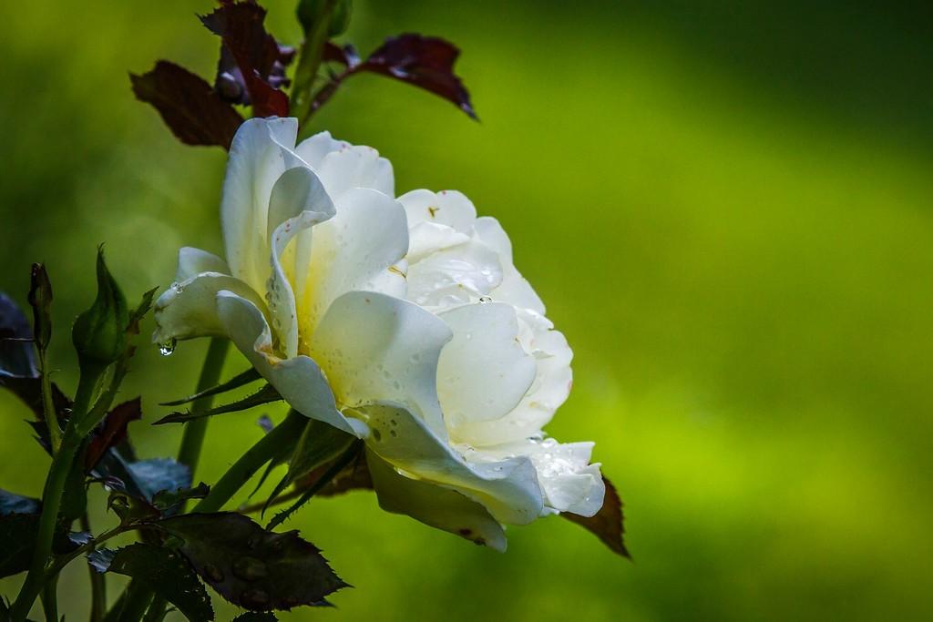 玫瑰花,展露秀色_图1-18
