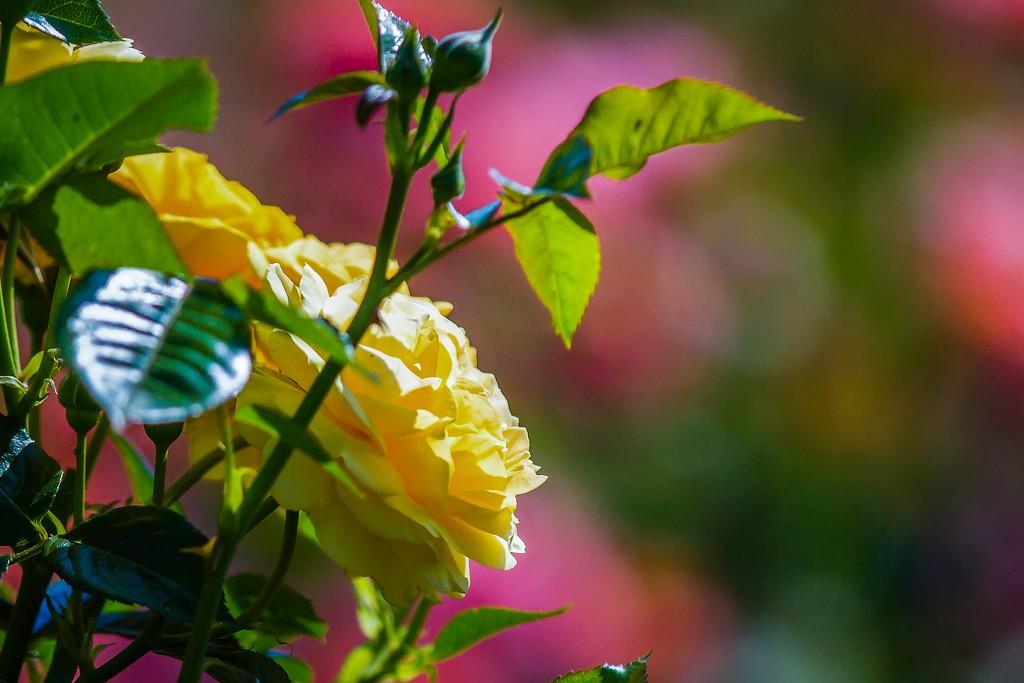玫瑰花,展露秀色_图1-20