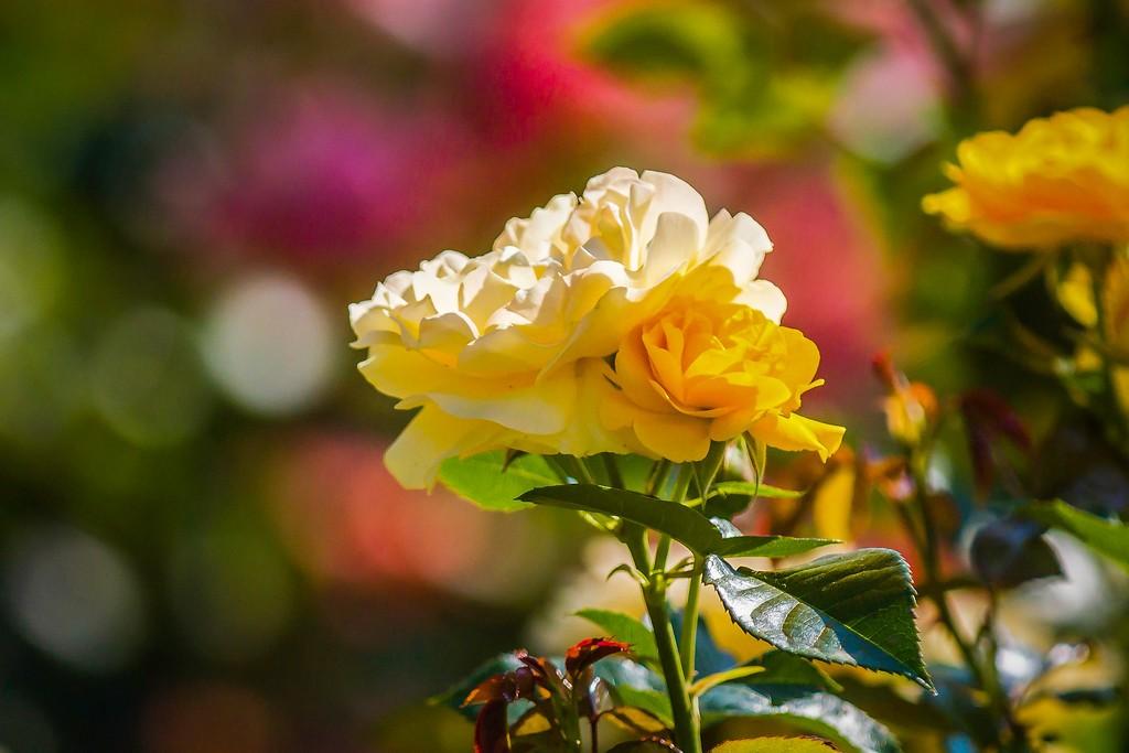 玫瑰花,展露秀色_图1-17