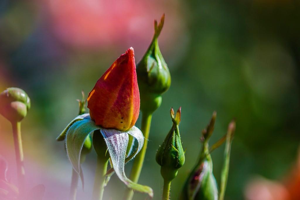 玫瑰花,展露秀色_图1-1