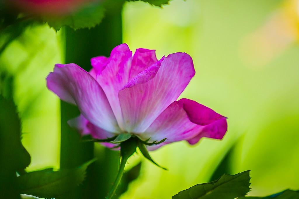玫瑰花,展露秀色_图1-2