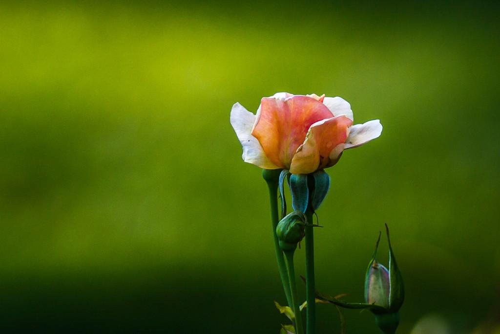 玫瑰花,展露秀色_图1-14