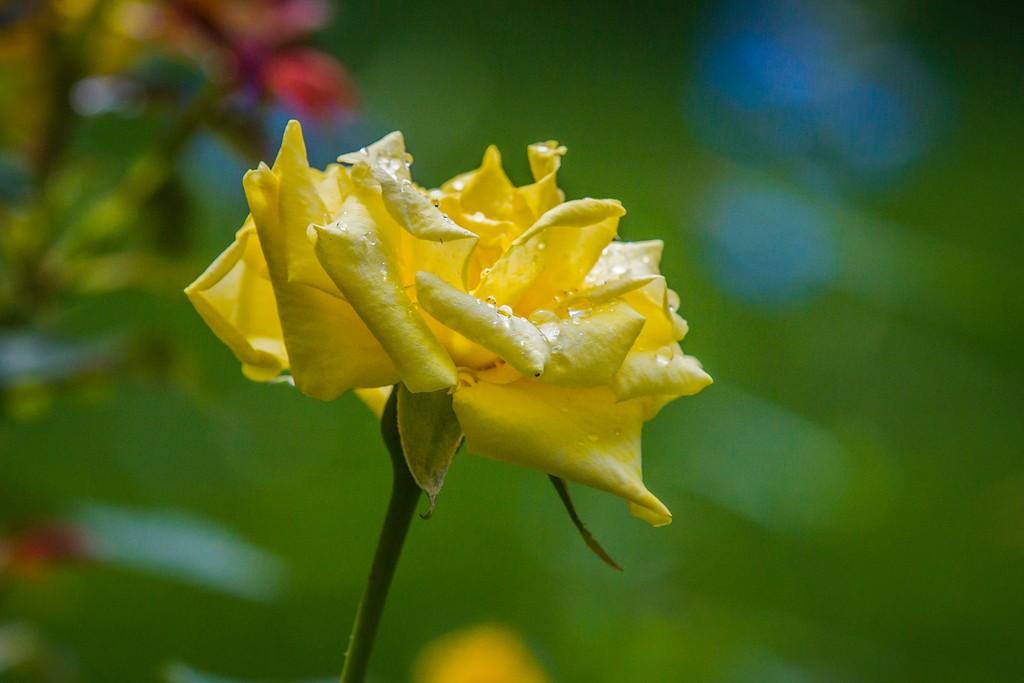 玫瑰花,展露秀色_图1-3