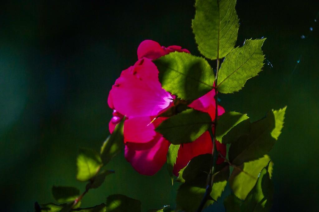 玫瑰花,展露秀色_图1-8
