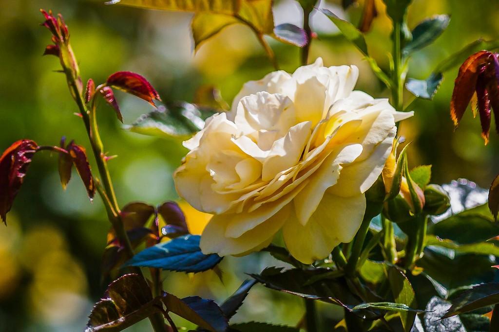 玫瑰花,展露秀色_图1-4