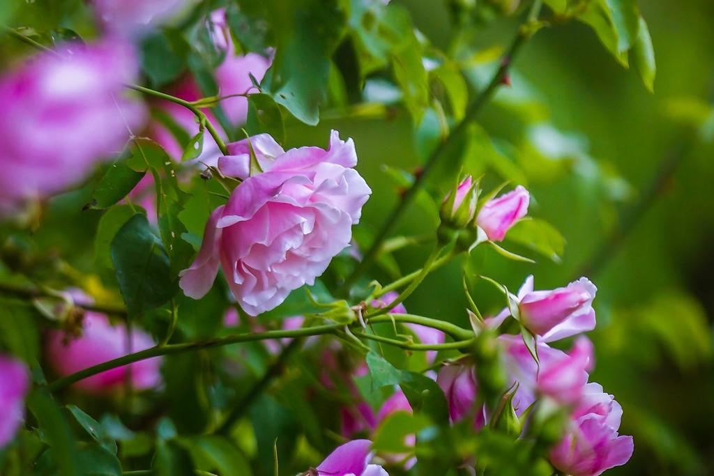 玫瑰花,展露秀色_图1-6