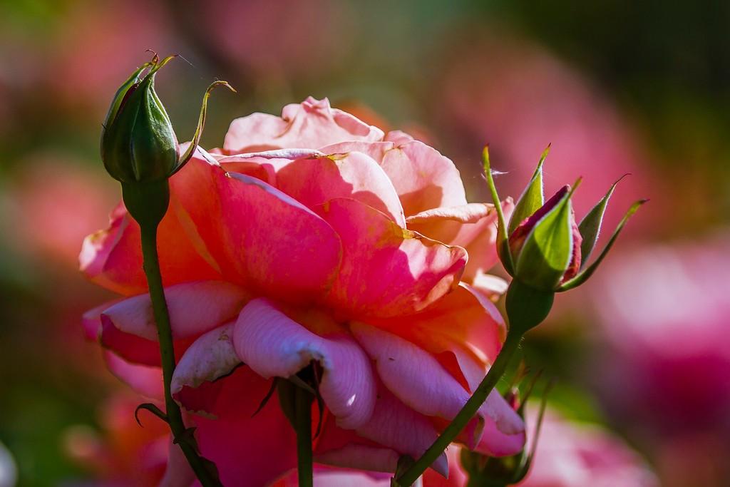 玫瑰花,展露秀色_图1-9