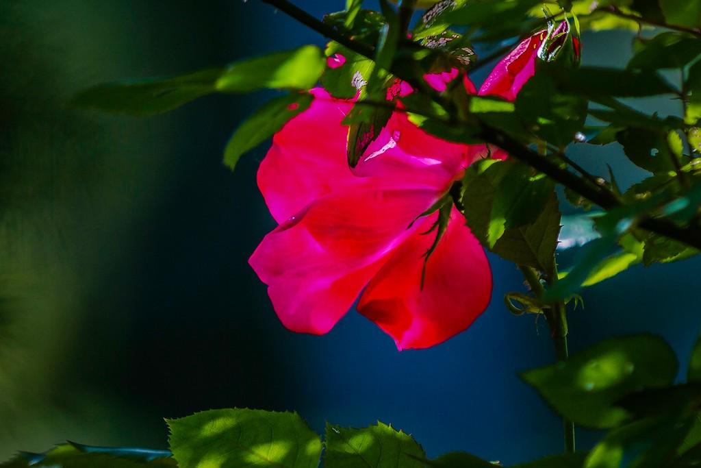 玫瑰花,展露秀色_图1-11