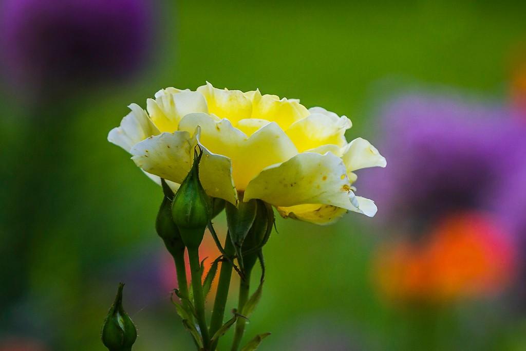 玫瑰花,展露秀色_图1-12