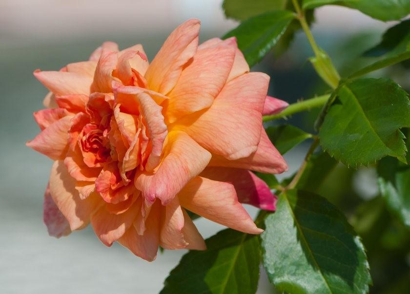 加州大学植物园之---玫瑰园_图1-1