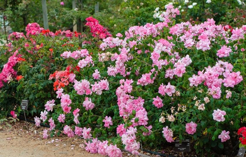 加州大学植物园之---玫瑰园_图1-9