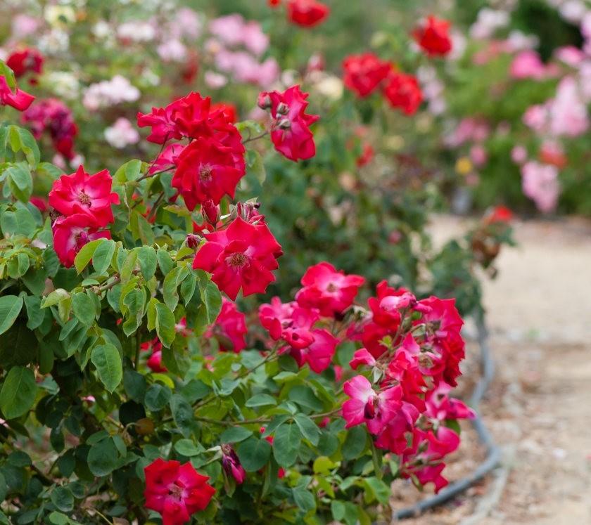 加州大学植物园之---玫瑰园_图1-11