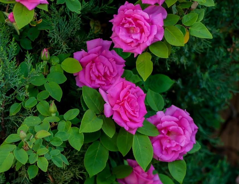 加州大学植物园之---玫瑰园_图1-23