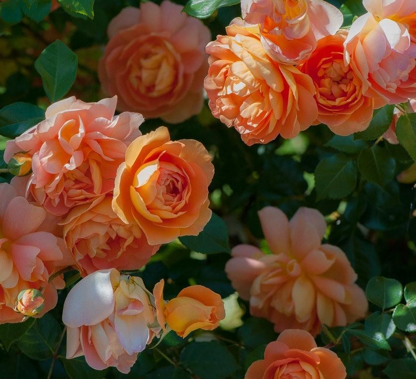 加州大学植物园之---玫瑰园_图1-25