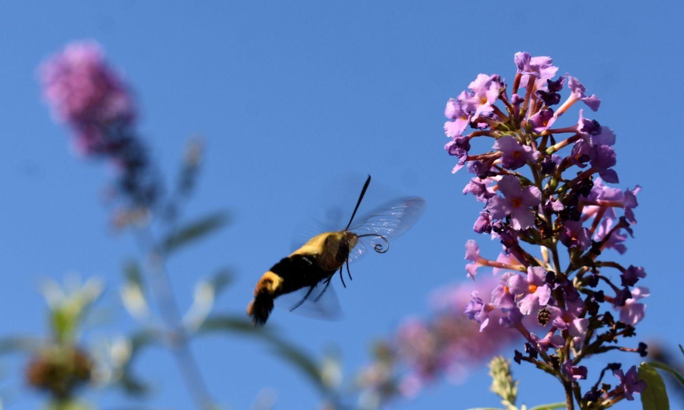 蜂鸟天蛾_图1-5