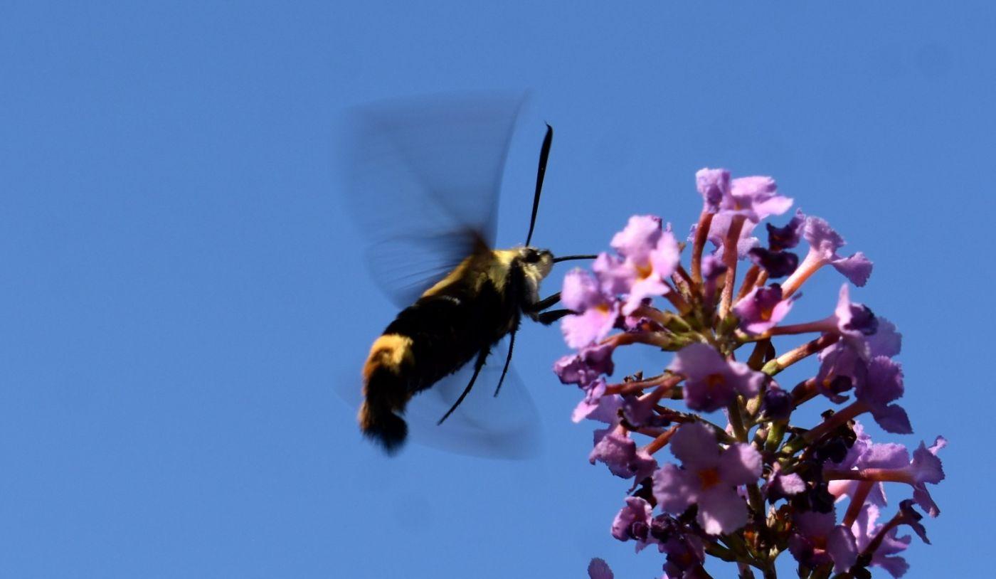 蜂鸟天蛾_图1-7