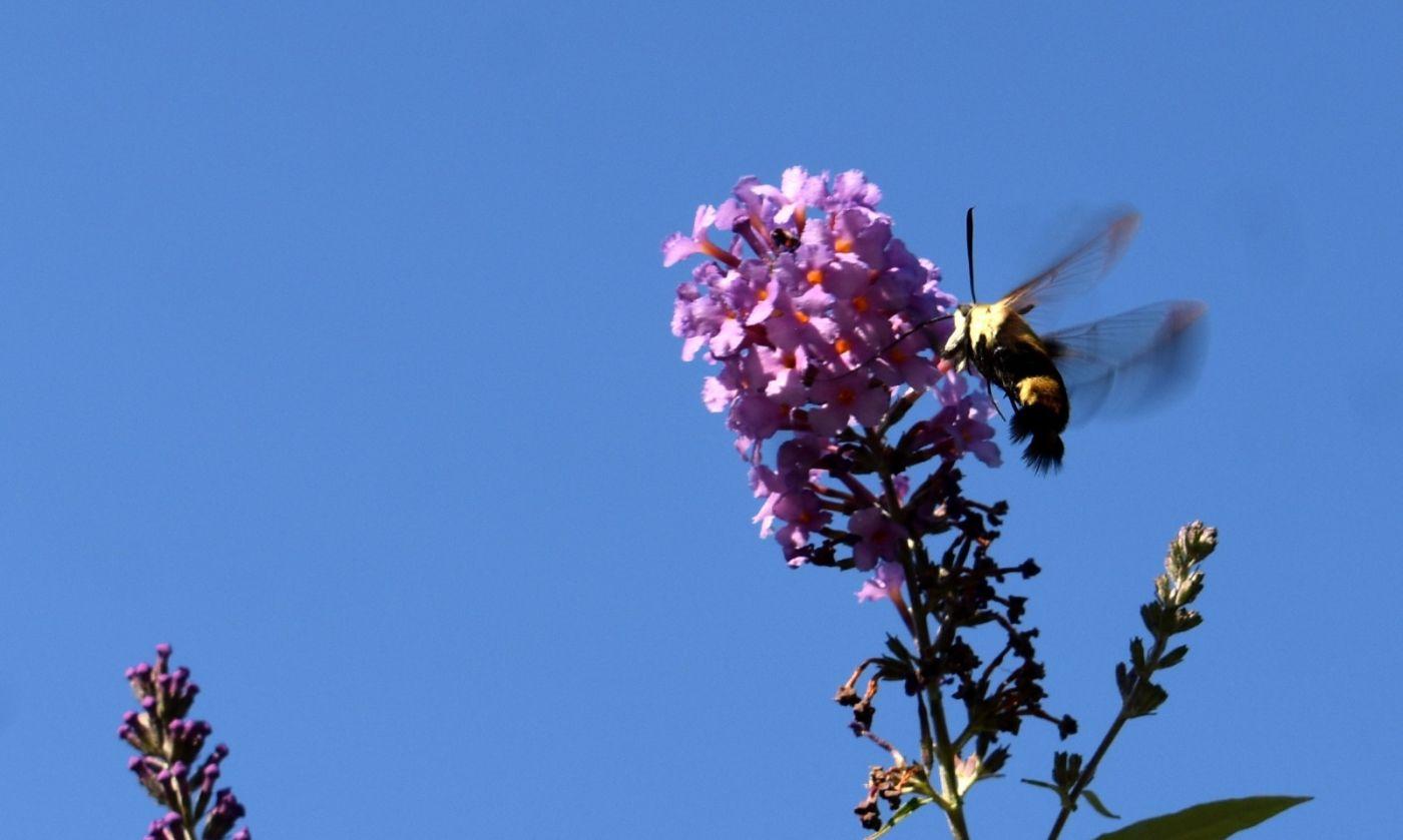 蜂鸟天蛾_图1-8