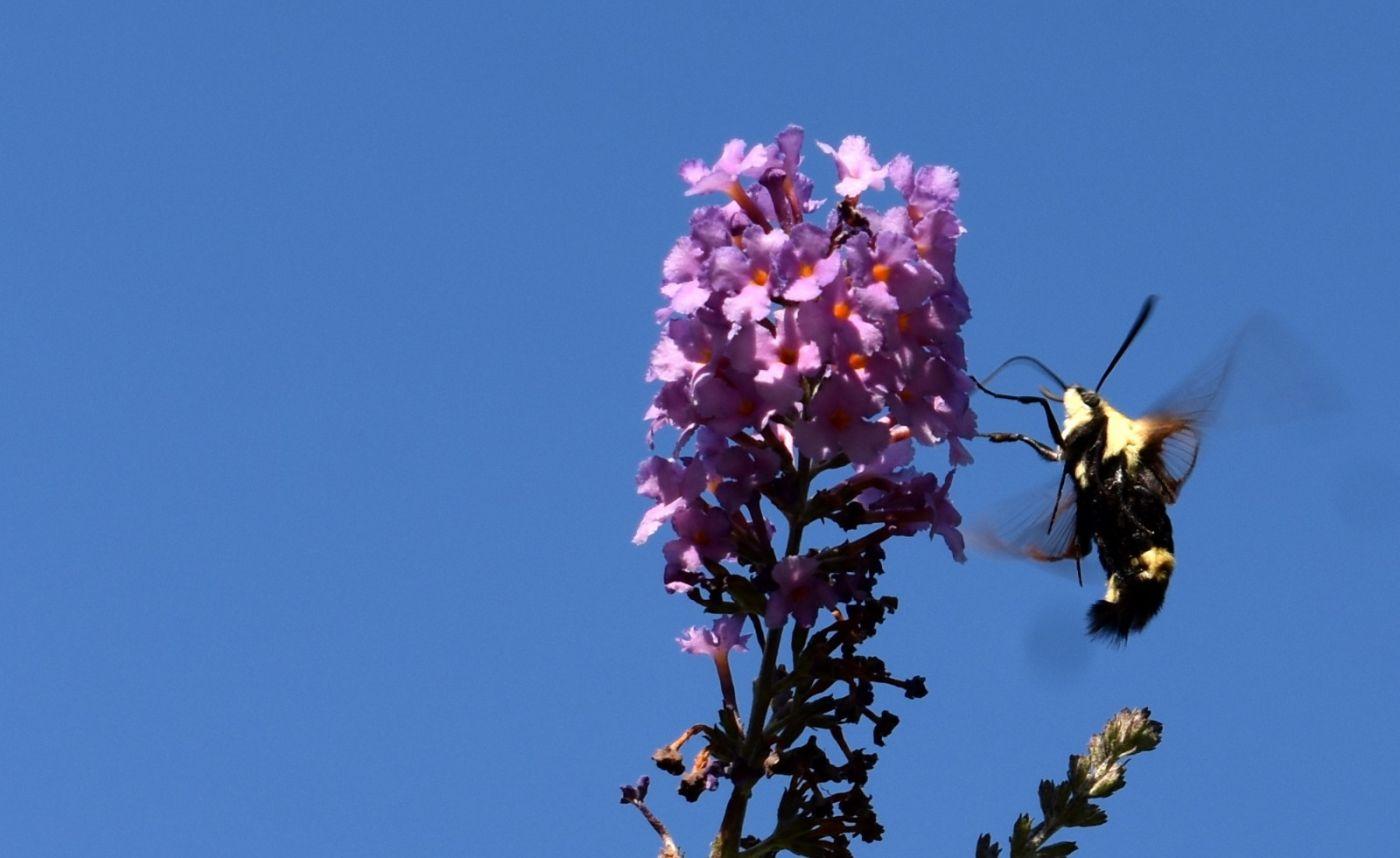 蜂鸟天蛾_图1-11