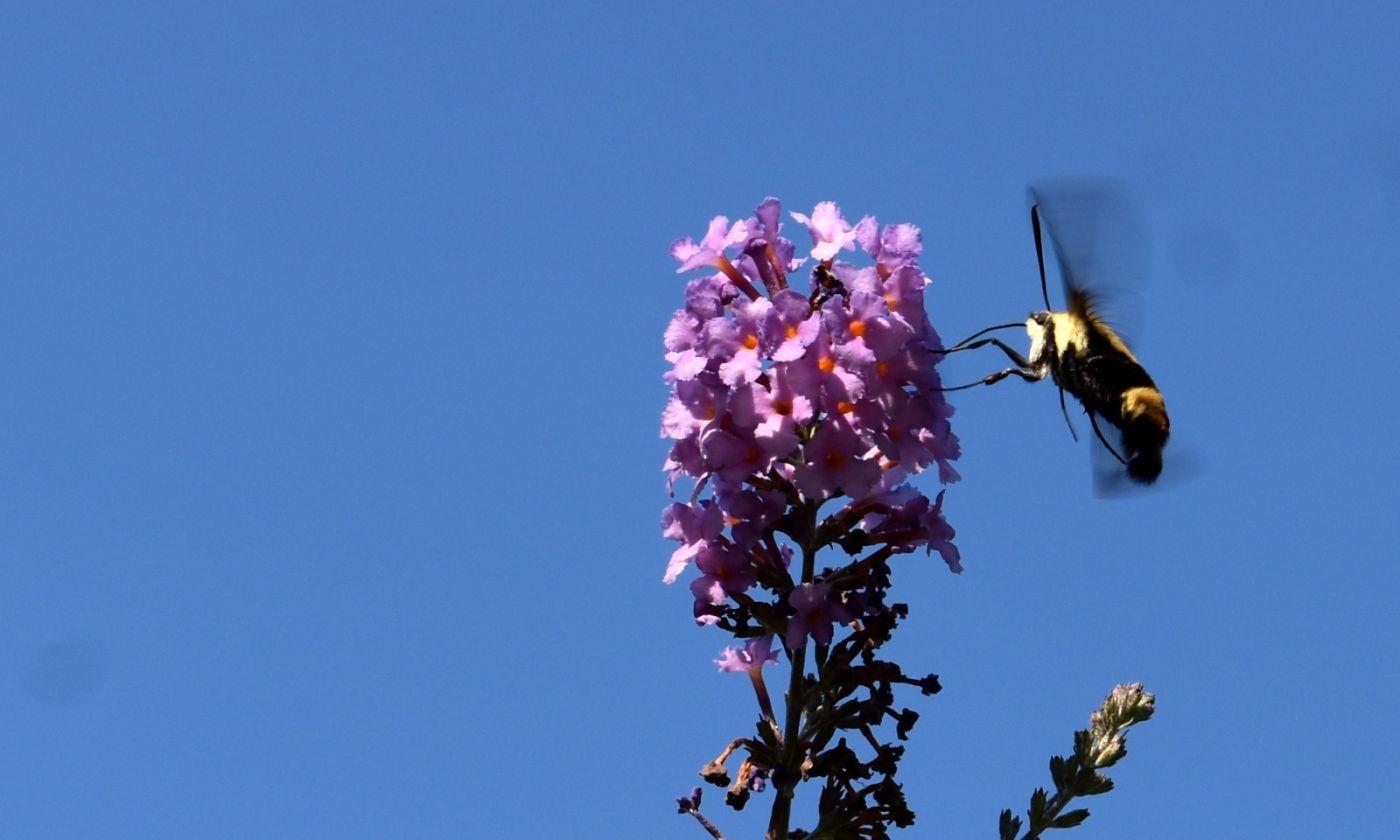 蜂鸟天蛾_图1-12