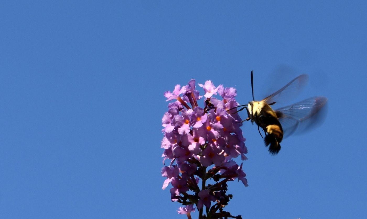 蜂鸟天蛾_图1-13