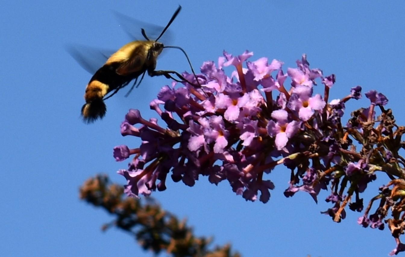 蜂鸟天蛾_图1-17