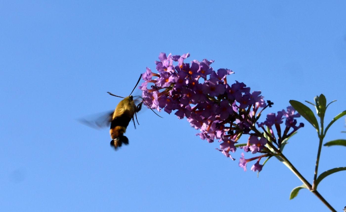 蜂鸟天蛾_图1-19