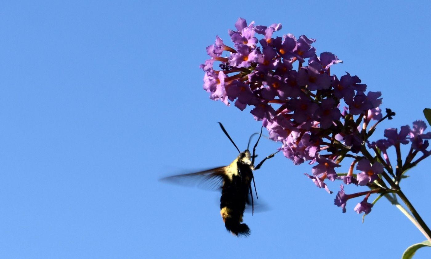 蜂鸟天蛾_图1-20
