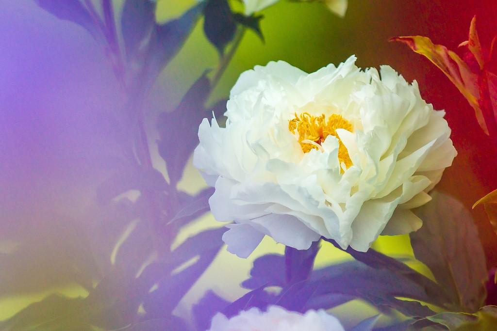 牡丹花,圆满j吉祥_图1-4