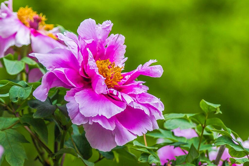 牡丹花,圆满j吉祥_图1-9