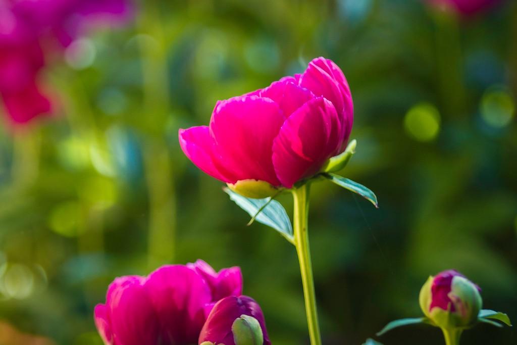 牡丹花,圆满j吉祥_图1-7