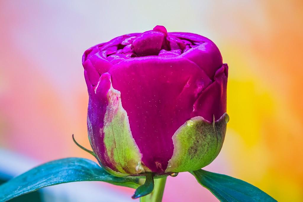 牡丹花,圆满j吉祥_图1-11
