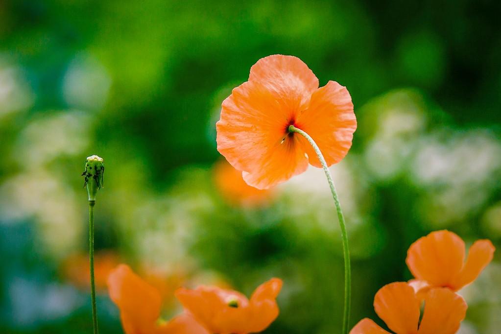 罂粟花,妖娆妩媚_图1-3