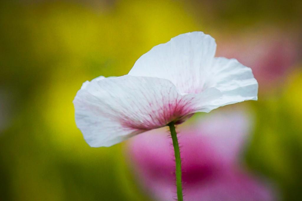 罂粟花,妖娆妩媚_图1-2