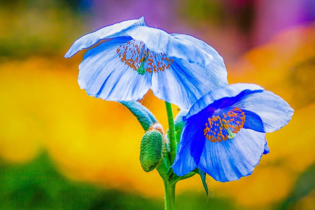 罂粟花,妖娆妩媚_图1-7