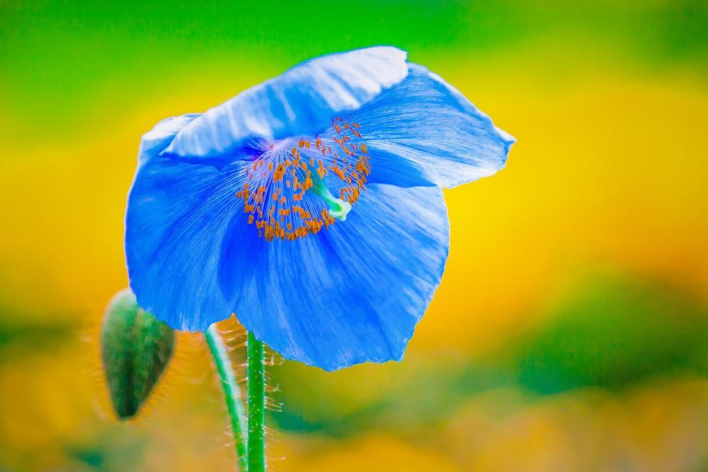 罂粟花,妖娆妩媚_图1-11