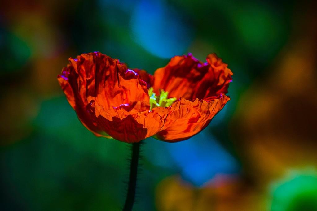 罂粟花,妖娆妩媚_图1-13