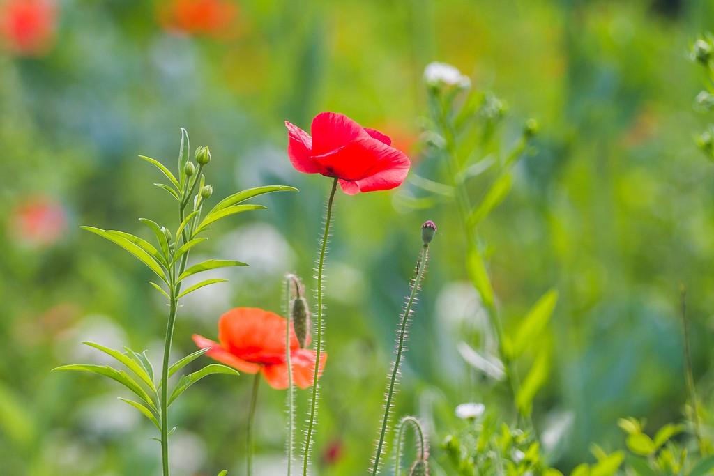 罂粟花,妖娆妩媚_图1-15