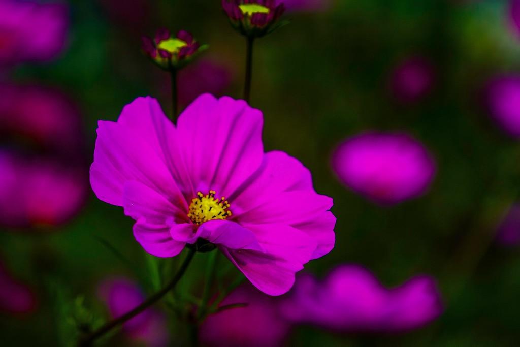 罂粟花,妖娆妩媚_图1-14